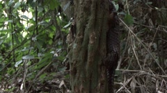 Tree Pangolin climb tree in the rainforests of Central African Republic 4 Stock Footage