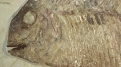 Zoom out of a Fossil fish Stock Footage