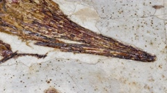 Zoom out of a fossil fish, Stock Footage