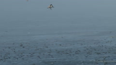 Shearwater Seabirds Flying In Fog Stock Footage