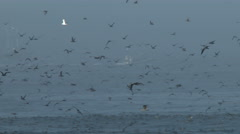 Shearwater Seabirds Flying Just Above the Sea In Fog Stock Footage