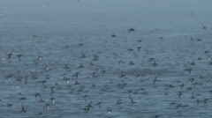 Shearwater, Seabird, Birds, Fly, Flight, Flying Stock Footage
