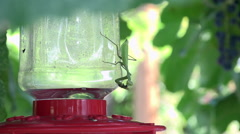 Praying Mantis Behaviors - Hummingbird Behaviors - stock footage