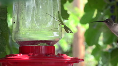 Stock Video Footage of Praying Mantis Behaviors - Hummingbird Behaviors