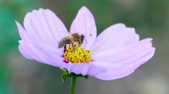 Bee on a cosmos flower - stock footage