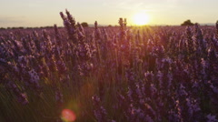 CLOSE UP: Beautiful endless lavender field at summer sunset Stock Footage