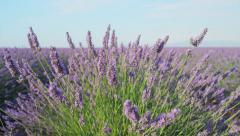 CLOSE UP: Fragrant flowers of lavender blooming in early summer Stock Footage