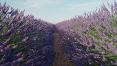 CLOSE UP: Endless lines of blooming lavender in sunny France Stock Footage