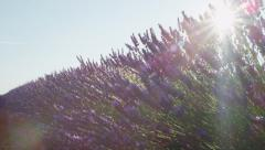 CLOSE UP: Morning sun shining through beautiful blooming lavender field Stock Footage
