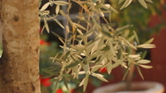 Stock Video Footage of Olive tree