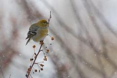 Female Pine Grosbeak in a blizzard Stock Photos