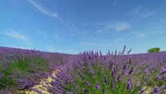 Endless lines of beautiful purple lavender blooming against blue sky - stock footage