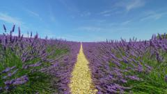 Endless lines of purple lavender blooming in sunny spring - stock footage