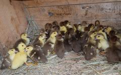 Ducklings of a musky duck Stock Photos