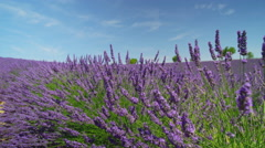 CLOSE UP: Endless fields of blooming lavender in beautiful Provence Stock Footage