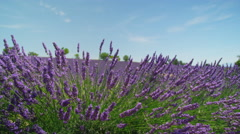 CLOSE UP: Lavender blooming in sunny Provence, France Stock Footage