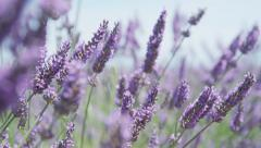 CLOSE UP: Beautiful blooming lavender flowers swaying in the wind Stock Footage