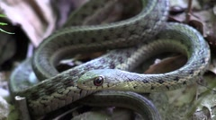 Close up garter snake in the forest Stock Footage