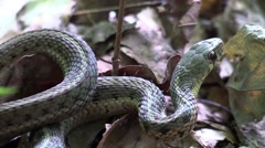 Close up garter snake in forest wildlife nature animal Stock Footage