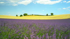 Beautiful French landscape with golden wheat field and blooming lavender Stock Footage