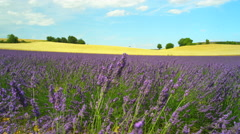 Bees pasturing on blooming lavender and golden wheat field - stock footage