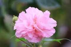 pink mutabilis hibiscus flowers in garden under sunshine - stock photo
