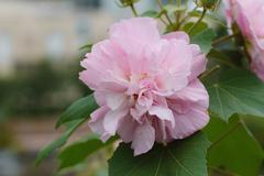 Confederate Rose Flower ( hibiscus mutabilis) - stock photo