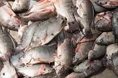 Pile of tilapia in sunshine with flies Stock Photos