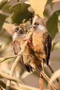 Pair of speckled mousebirds on same branch Stock Photos