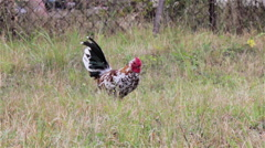 Bantam rooster Stock Footage