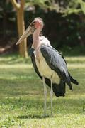 Marabou stork on grass with wings folded Stock Photos