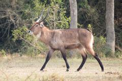 Male waterbuck with curved horns gallops past - stock photo