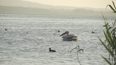 White pelican flies spectacular water lake super slow motion Arkistovideo