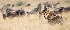 Lion watches as wildebeest pass behind him Kuvituskuvat