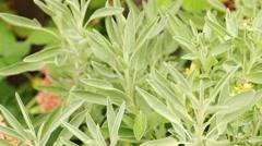 Sage bush in herbal garden - Steadicam handheld HD 1080 close up; no people, - stock footage