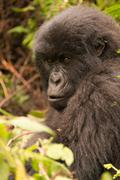 Gorilla surrounded by undergrowth staring into distance - stock photo