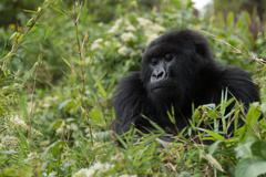 Gorilla looks downhill from top of bush Stock Photos