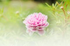 Stock Photo of Beautiful pink flower soft focus and bright light