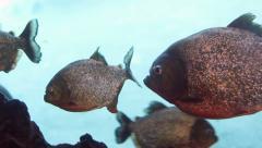 Group of Piranha fish Stock Footage