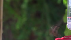 Hummingbird Behaviors - Female Rufous Stock Footage