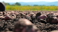 Field with potato - stock footage
