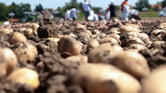 Farm work on the field with potatoes Stock Footage