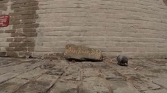 Pigeon pecks of grain around the stone on which is written the mantra prayer Stock Footage
