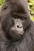 Close-up of silverback looking down in forest Stock Photos