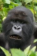 Close-up of male silverback showing black teeth Stock Photos