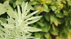Sage bush in herbal garden - Steadicam handheld HD 1080 close up; no people, Stock Footage