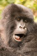 Close-up of gorilla yawning with mouth open Stock Photos