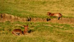 Two cute brown foals lie on pasture in field and relax at dawn Stock Footage