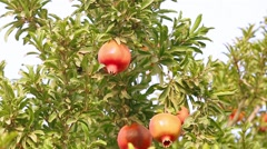 Red ripe pomegranates transition to blur Stock Footage