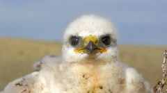White fluffy nestling birds of prey Stock Footage